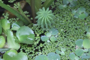 Little pond plants