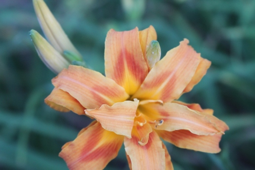 new daylily blooms 003