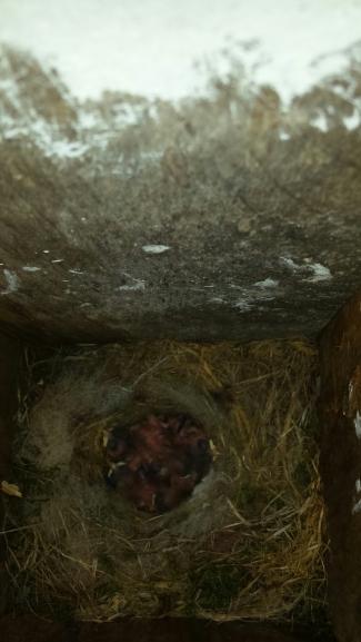 Baby chickadees