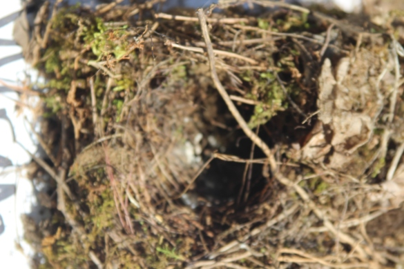 Wren nest: tallest with a dome