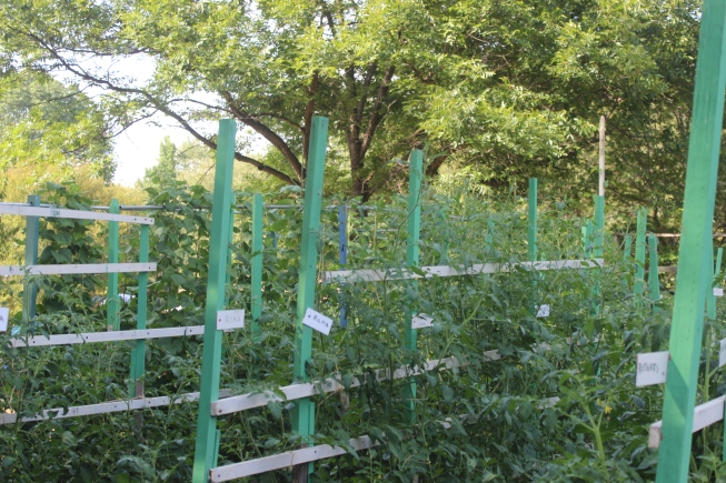 Tomatoes staked and tagged.