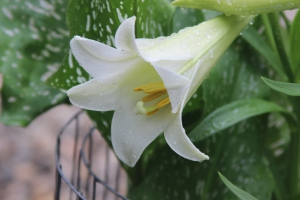 Easter Lily/ June 4