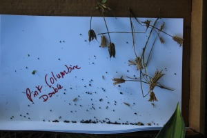 Columbine pods and seeds