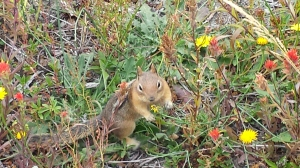 Chipmunk collecting seeds.
