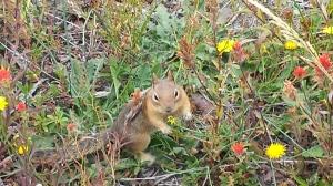 Chipmunk collecting seeds.