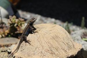 Lizard on a stoneshroom.