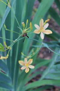 Blackberry/Leopard lily hybrids
