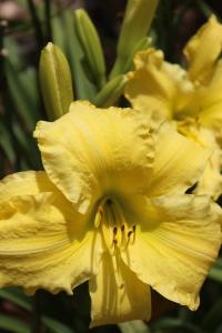 Giant yellow