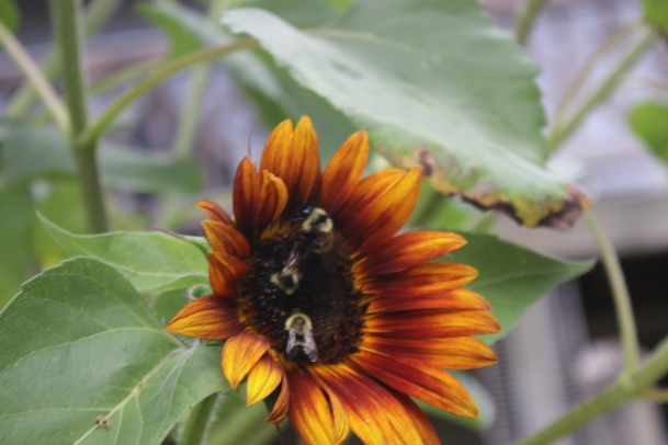 Sunflower and friends