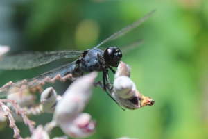 Dragonfly on blooms of aquatic Thalia dealbata.