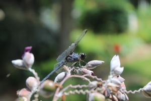 Dragonfly 044