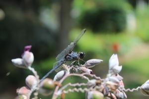Dragonfly 044