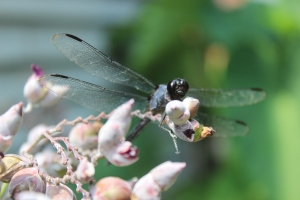 Dragonfly 053