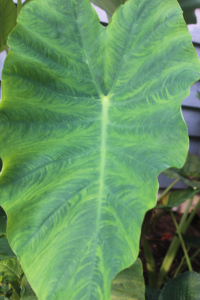 non-variegated leaf pattern