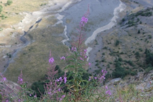 succession flowers near volcanoe