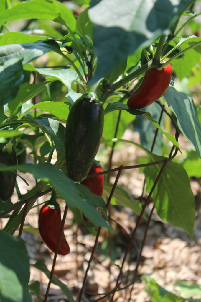 Jalopeno peppers