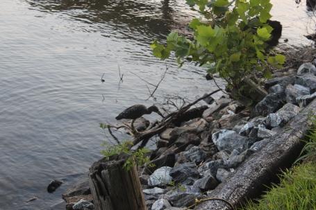 Limpkin on Lake Norman
