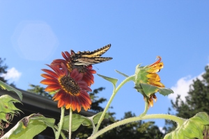 swallowtail and scirrocco 009