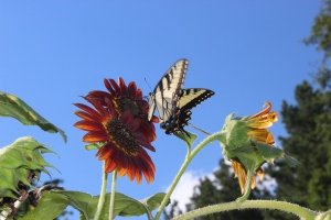 swallowtail and scirrocco 012
