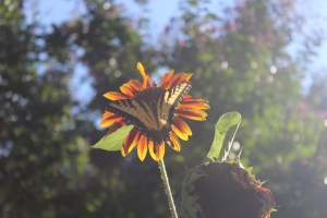 swallowtail and scirrocco 027