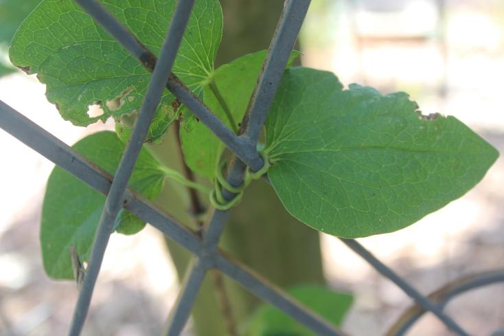 Clematis leafstalk hugging the trellis