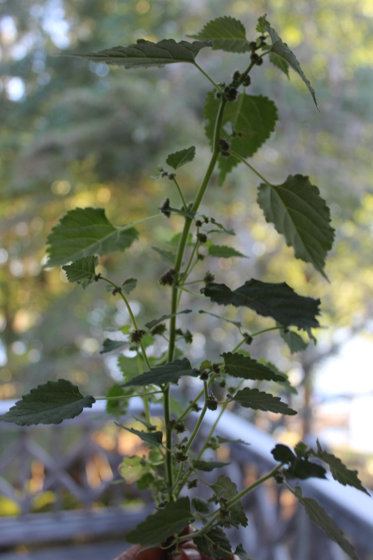 Mulberry weed