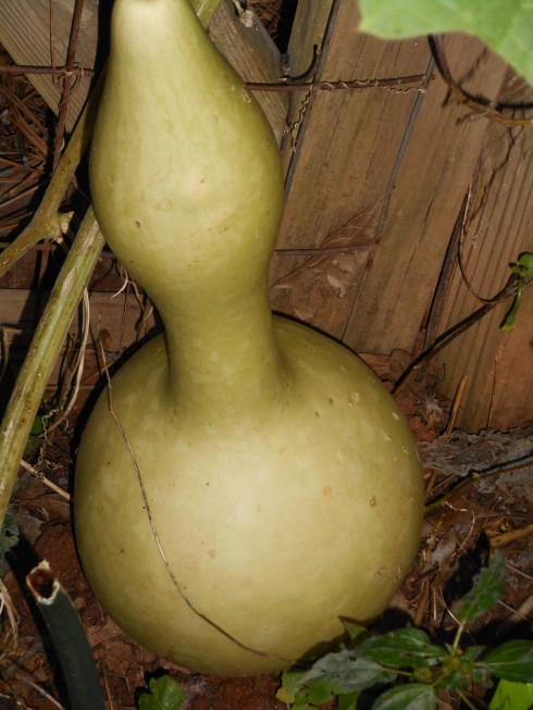 Green Gourd. Do not pick.