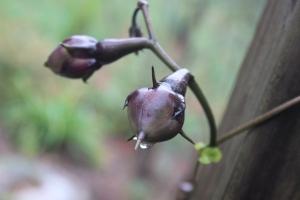 Moonflower pods