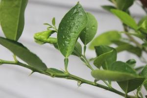 Key Lime Thorns