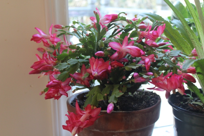 Schlumbergera(red/white)
