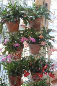multiple cacti