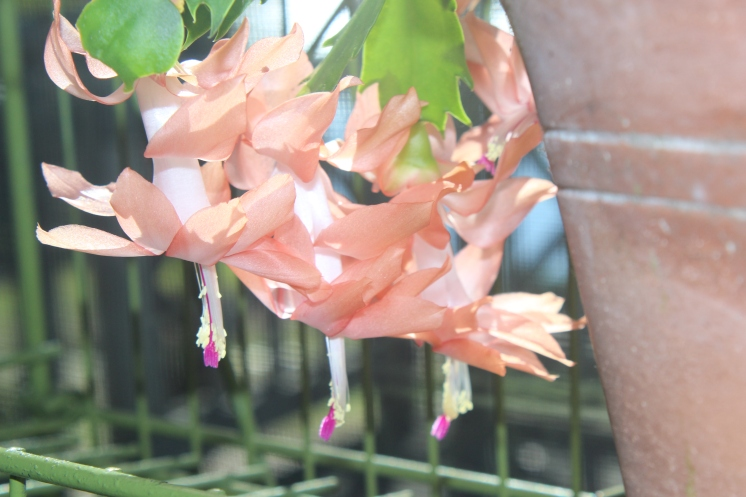 Schlumbergera (peach)
