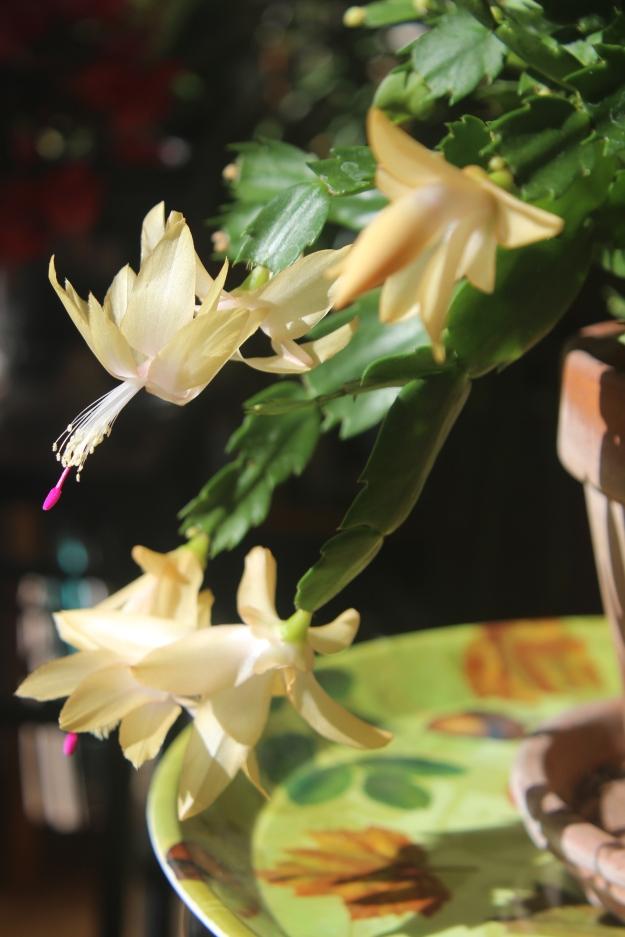 Schlumbergera (gold)
