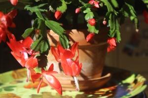Schlumbergera (true red)