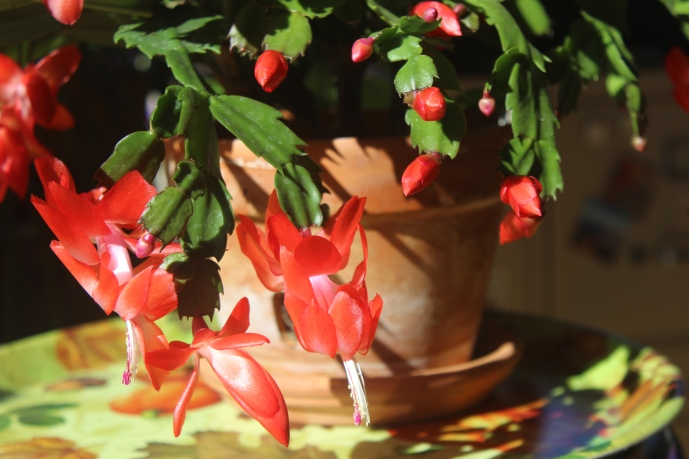 Schlumbergera (true red)