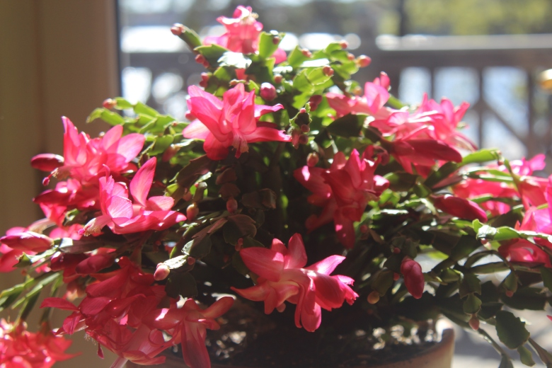 Schlumbergera (red/white)