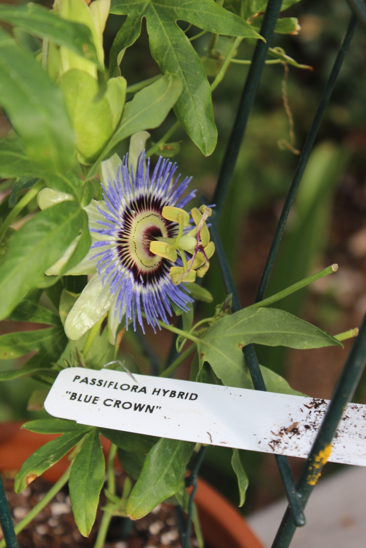 "Passiflora hybrid ""Blue Crown"""